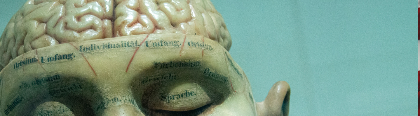 model of a head with brain exposed
