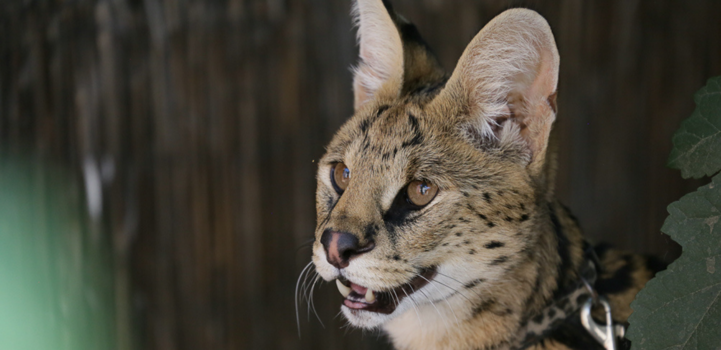 Picture of serval from America's Teaching Zoo